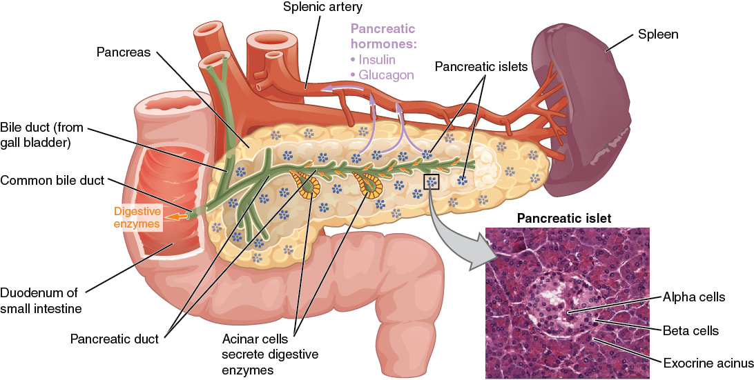The Pancreas Overview The Olive Laboratory